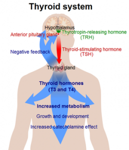 Weight Loss and The Thyroid Hormone